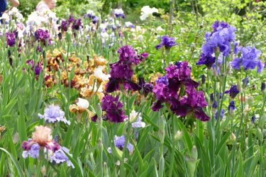 Iris 1 375x250 - Der Irisgarten am Leximihof